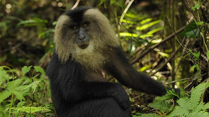 Lion tailed Macaque Monkey in  Periyar National Park