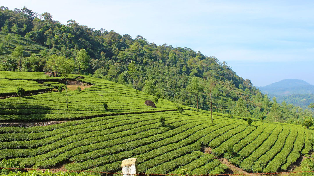 Munnar Tea Plantation in Kerala in Southern India